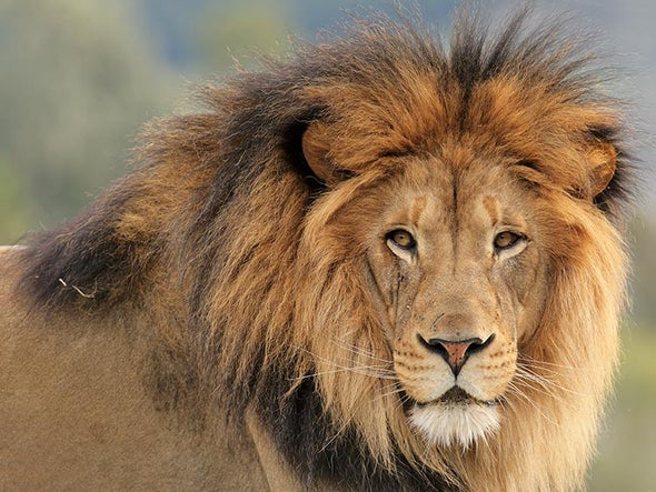 African Lions Finally Gain Endangered Species Act Protection