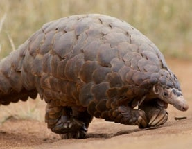 All 8 Pangolin Species Being Eaten into Extinction