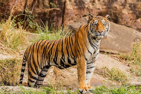 It's Global Tiger Day—How Is the Effort to Save Them Going?