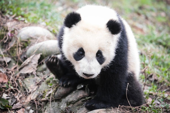 Giant Panda Conservation Also Helps Other Unique Species in China