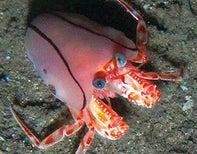 Blanket Hermit Crabs Use Anemones as Defensive Snuggies