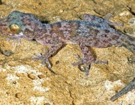 Critically Endangered Gecko Discovered in Madagascar