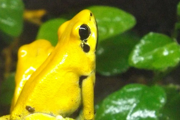 The Terrible Leaf Walker Frog