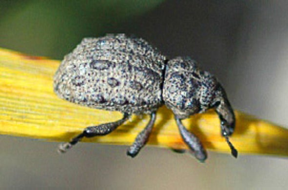 """Living Dead"" Weevil Gets Another Shot at Surviving"