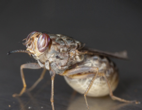 Sleeping sickness and tsetse flies