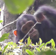 How Do Bonobos and Chimpanzees Talk to One Another?