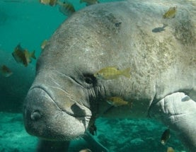 Endangered Manatees Face a New Threat: Lawsuits