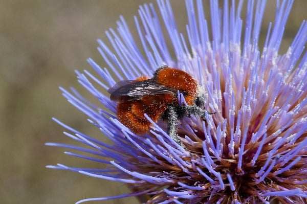 World's Biggest Bumblebee at Risk of Extinction