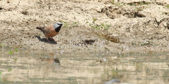 Black-Throated Finch Extinct in New South Wales
