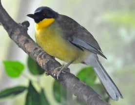 Sunday Species Snapshot: Blue-Crowned Laughingthrush