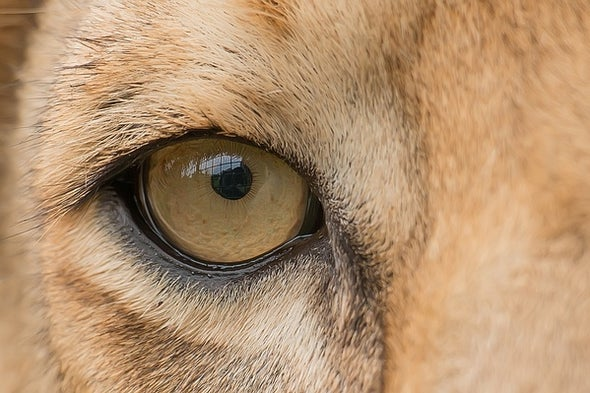 Lions See These Illusions the Same Way You Do