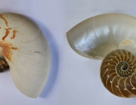 Should We Stop Selling Nautilus Shells?