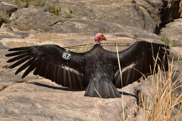 Saving California Condors with a Chisel and Hand Puppets