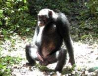 A Glimpse Into the Sexual Lives of Chimpanzees
