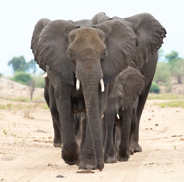 Of Animal Germs and Pachyderms - Scientific American