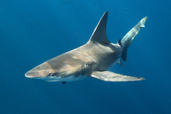 To Save Endangered Sharks, You Sometimes Need to Kill a Few