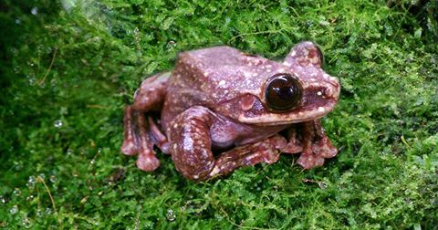The Rabbs' Tree Frog Just Went Extinct