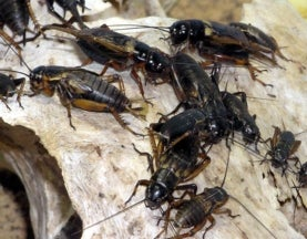 Why Do Male Field Crickets Mate with Other Males?
