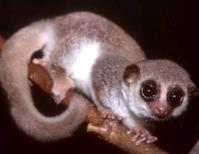 Can Humans Hibernate? Ask the Dwarf Lemur