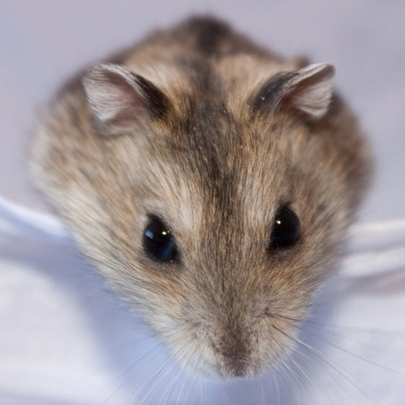 Dwarf Hamsters Hold Their Drink