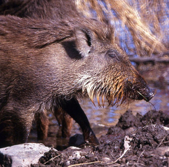 Fabulous Crested Indian Wild Pigs
