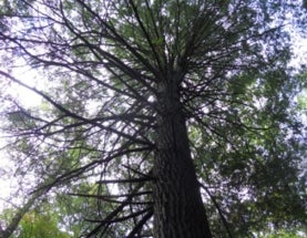 Hemlock Extinction Looms over Tennessee Forests