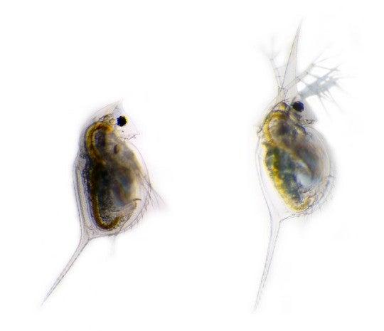 Predator No Problem Water Fleas Grow Weapons Scientific American