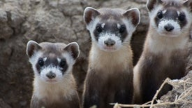 What A Special Black-footed Ferret Can Teach Us About Conservation Success
