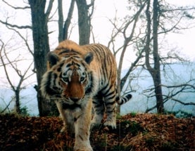 Canine Distemper Could Wipe Out Siberian Tigers