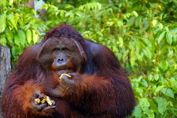 Another Challenge for Orangutan Conservation: Food