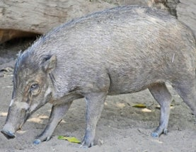 Sunday Species Snapshot: Visayan Warty Pig