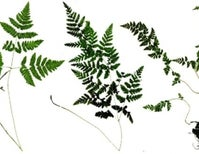 Ferns Get It On After 60 Million Years Apart