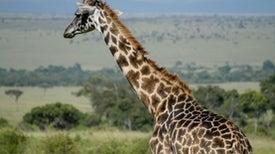 Giraffe Genetics Reveal 4 Separate (and Threatened) Species