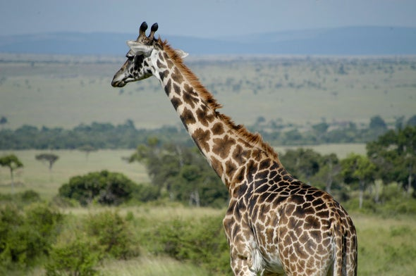 Giraffe Genetics Reveal 4 Separate (and Threatened) Species