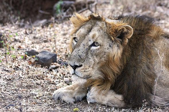 Good News for the World's Rarest Lions