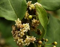 Amborella, the Ancient Shrub with the Hoard of Foreign Genes