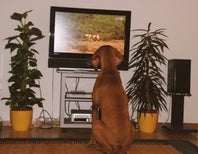 Do Dogs Respond to Videotaped Commands?