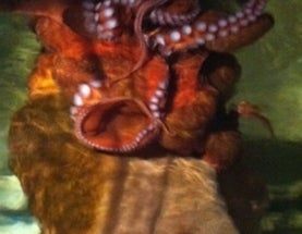 National Zoo's Octopus Dies In the Company of Her Favorite Toy: a Kong