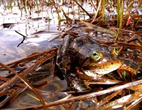 In Limbo Since 1991, Oregon Spotted Frog Finally Gets Protected Status