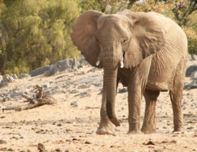 Why Is Namibia Killing Its Rare Desert Elephants?