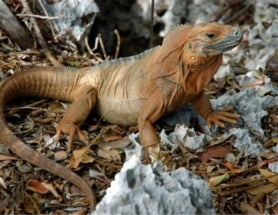 Jamaican Iguana Conservation Program Marks 20 Years of Success, Faces Worries about Next 20 Years