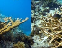 Hybrid Corals: Sex Gone Awry or Saving Grace?