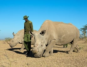 Only 4 Northern White Rhinos Remain in Africa: Inside the Last Attempts to Breed and Save Them