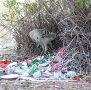 What Makes Bowerbirds Such Good Artists?