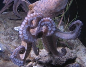 Scientists Move to Patent Octopus Robot