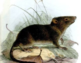 You Never Hear Much About Shrew-Opossums