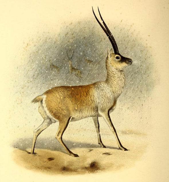 Endangered Antelope with Fur More Valuable Than Gold on Its Way to Recovery