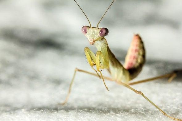 Ambitious Praying Mantis Discovers Sashimi