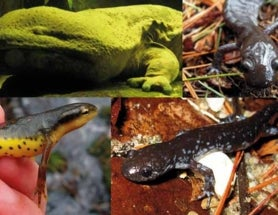 THE AMAZING WORLD OF SALAMANDERS