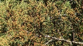 Watch This Cedar Tree Sneeze Pollen, and You'll Sneeze, Too [Video]
